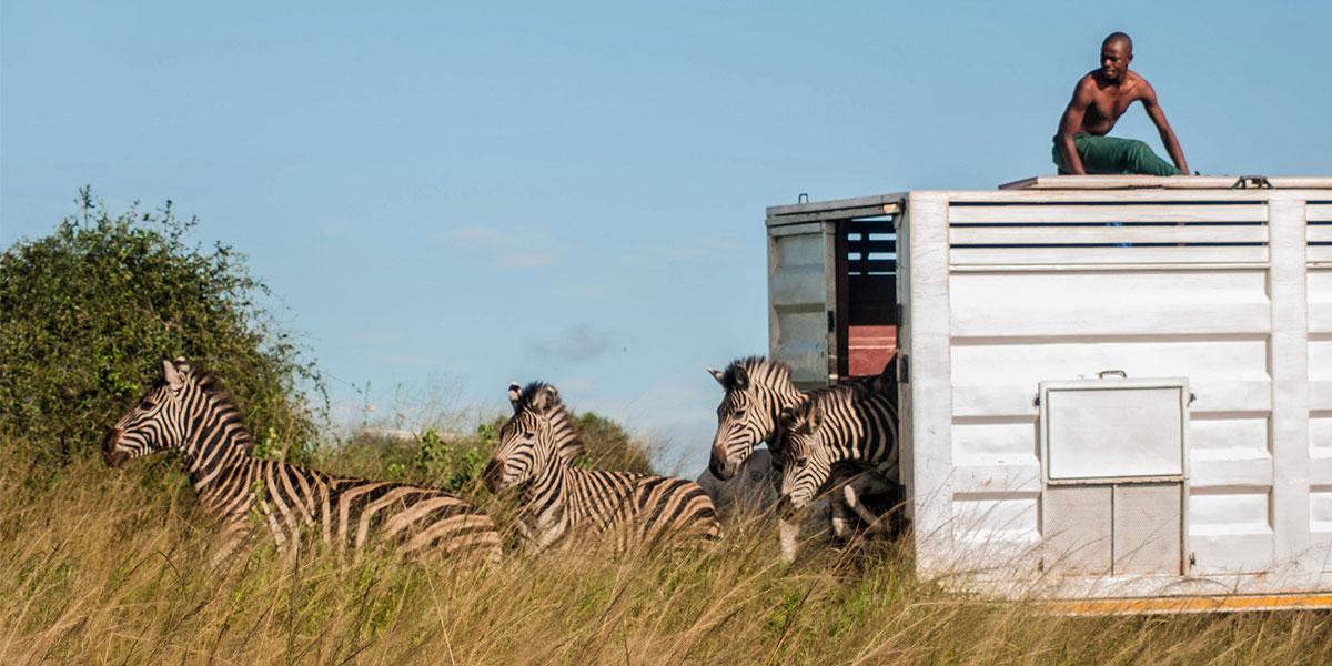 Donation_Zebra